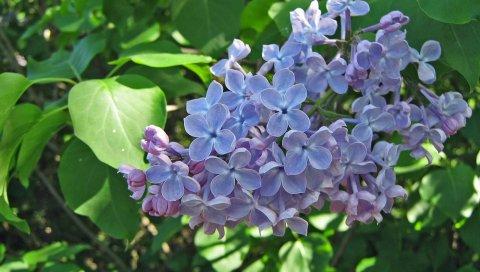 Сирень, цветы, ветка, весна, зелень, крупный план