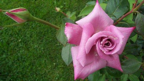 Роза, цветок, почка, сад, травы, трава, капля
