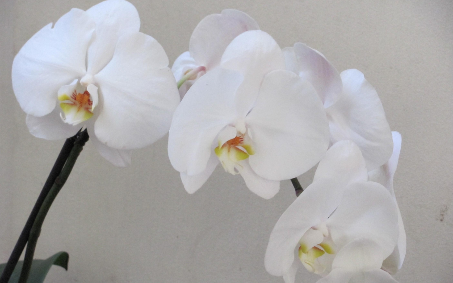 Картинки Орхидеи, ветка, цветок, белый фото и обои на рабочий стол