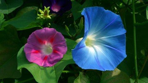 Вьюнок, цветок, розовый, синий, лист