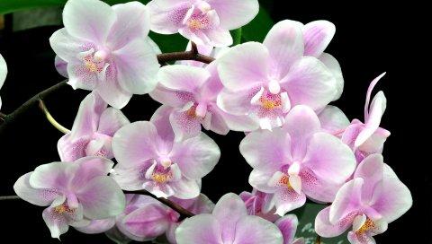 Орхидея, цветок, веточка, черный фон