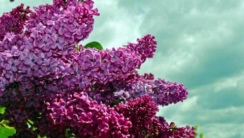 Сирень, веточки, цветок, небо, весна