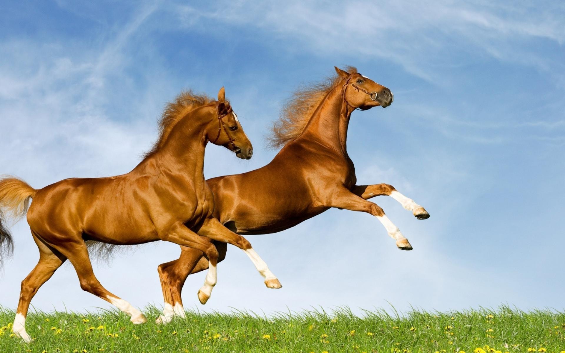 Картинки Лошадь, поле, трава, прыжки фото и обои на рабочий стол