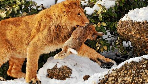 Лев, заяц, охота, хищник, жертва, снег