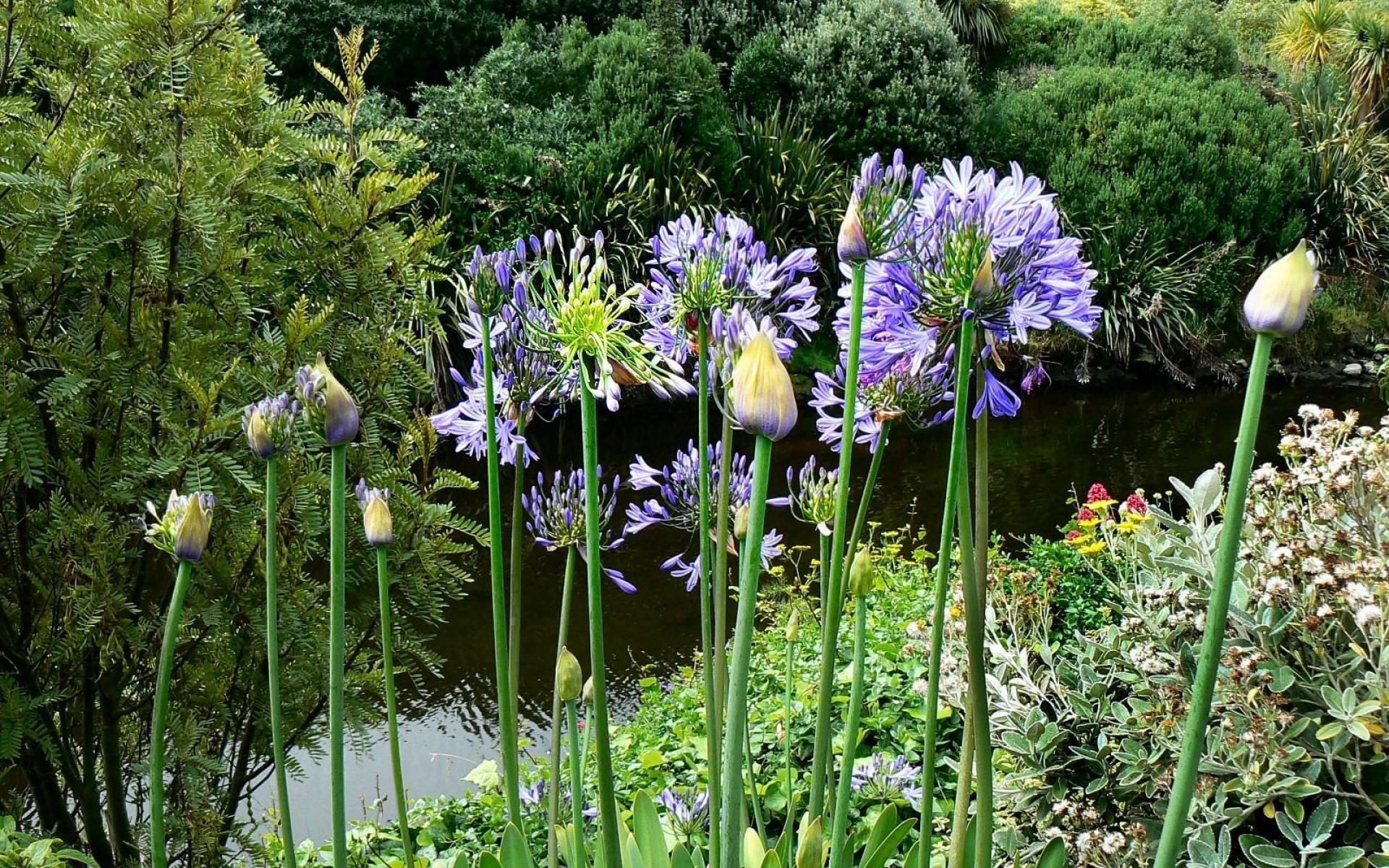 Картинки Агапантус, цветы, склон, парк, вода фото и обои на рабочий стол