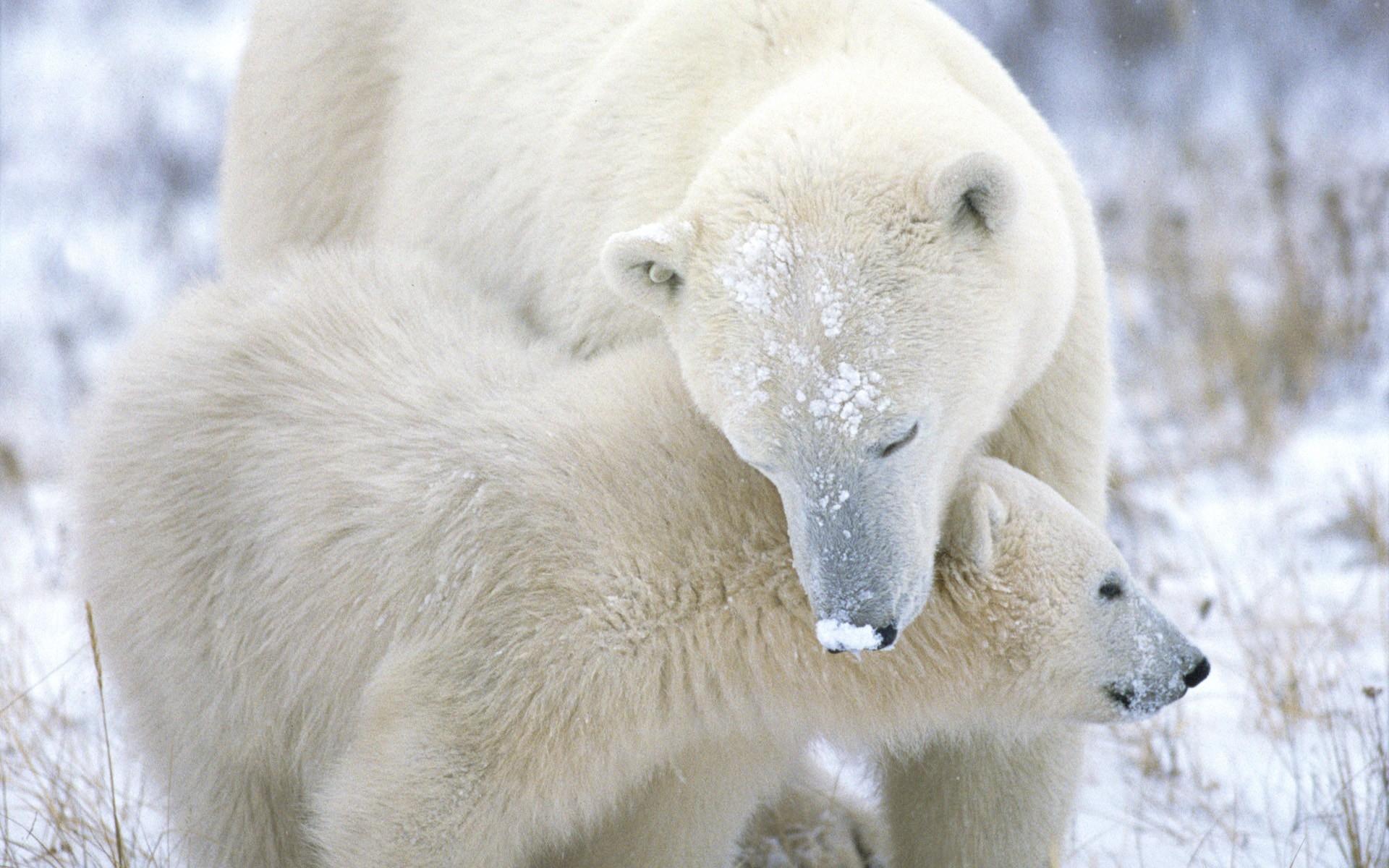 Картинки Белый медведь, детеныш, забота, снег, мех фото и обои на рабочий стол