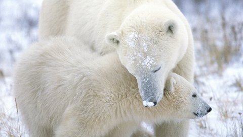Белый медведь, детеныш, забота, снег, мех