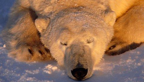 Белый медведь, медведь, сон, морда, снег