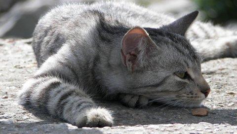Кошка, полосатый, симпатичный, тень
