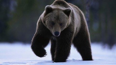 Медведь, снег,
