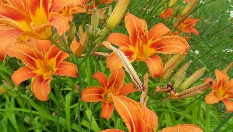 Лилии, цветы, течет, зелень, клумба