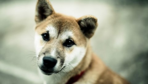 Собака, морда, фон, размытая