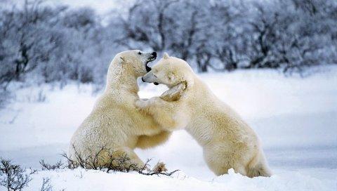 Белый медведь, пара, игривый, снег