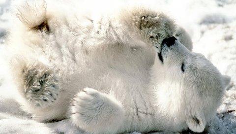 Медведь, белый медведь, детеныш, игривый, снег, лежа