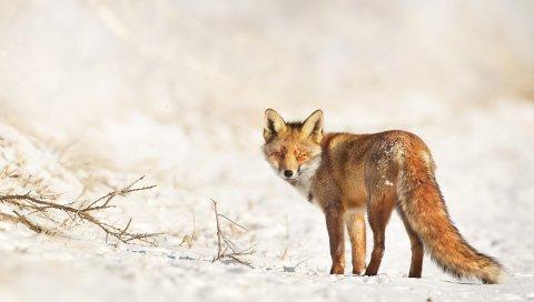 Лиса, снег, прогулка, взгляд, ветки, зима