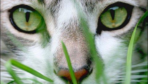 Кошка, лицо, глаза,