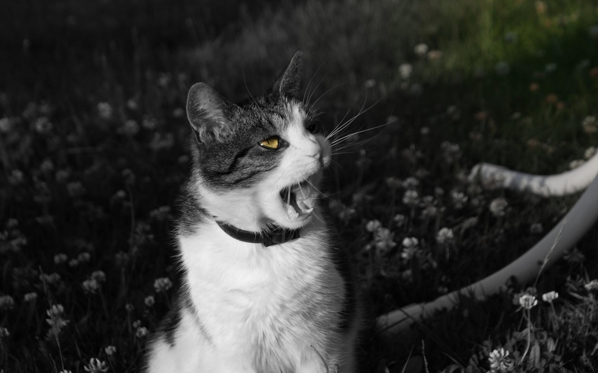 Картинки Кошка, крик, лицо, черный белый фото и обои на рабочий стол