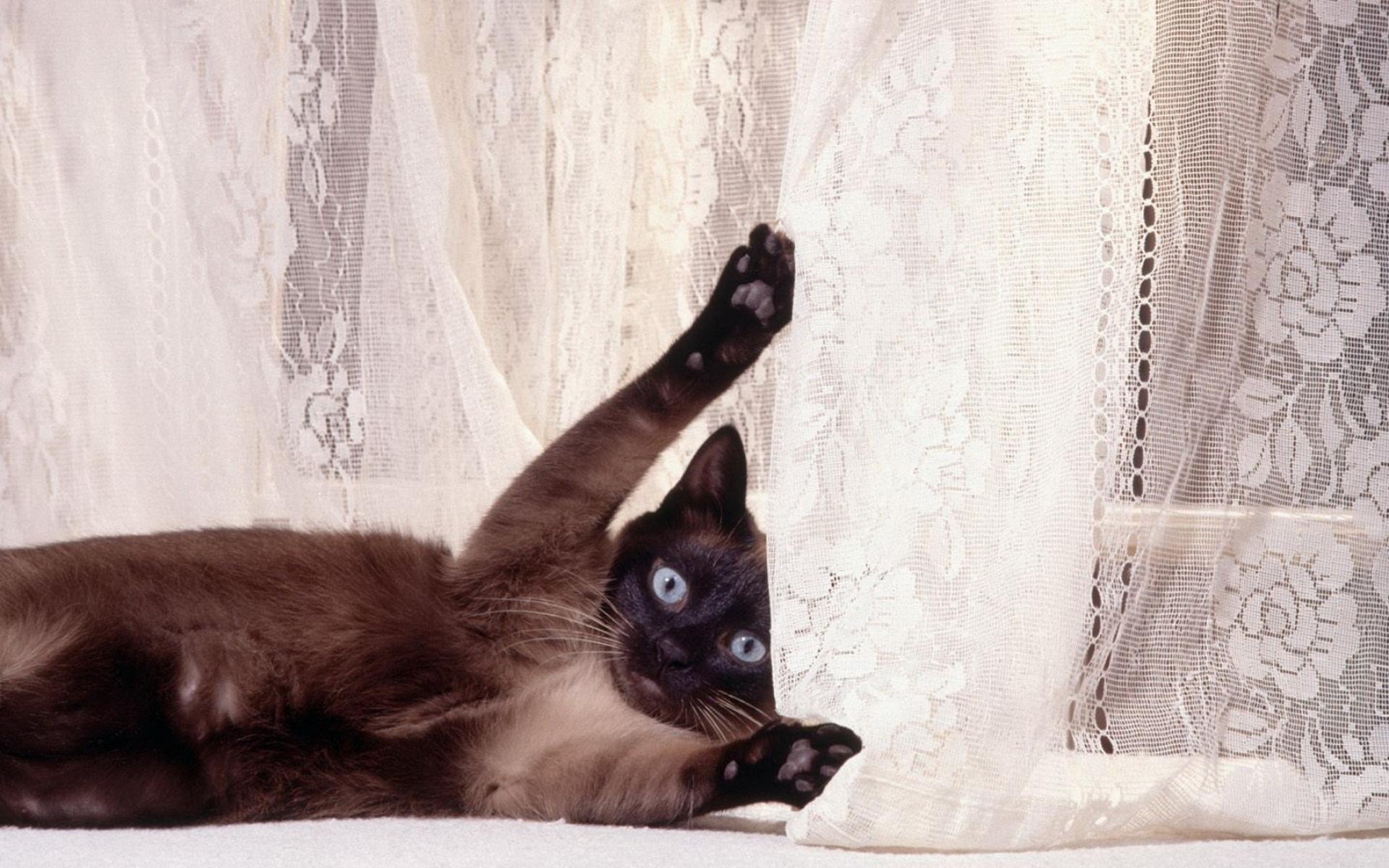 Картинки Кошка, шторы, игривые, ложь фото и обои на рабочий стол