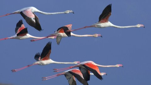 Фламинго, стая, полет, небо, птицы