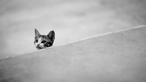 Котенок, морда, черный белый,