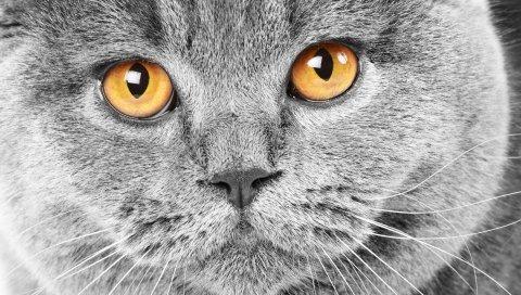 Кошка, морда, ожидание, глаза, печаль