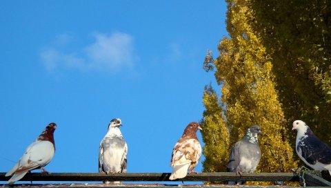 Голуби, птицы, деревья, стадо