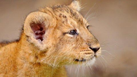 Львенок, детеныш, морда, хорошо