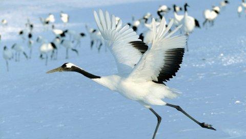 Аист, снег, стая, птица, полет