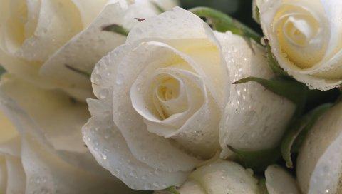 Розы, цветы, бутоны, капля, свежесть