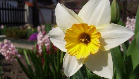 Нарцисс, цветок, клумба, весна, крупный план