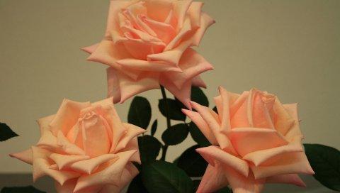 Розы, цветы, три, бутоны, крупный план