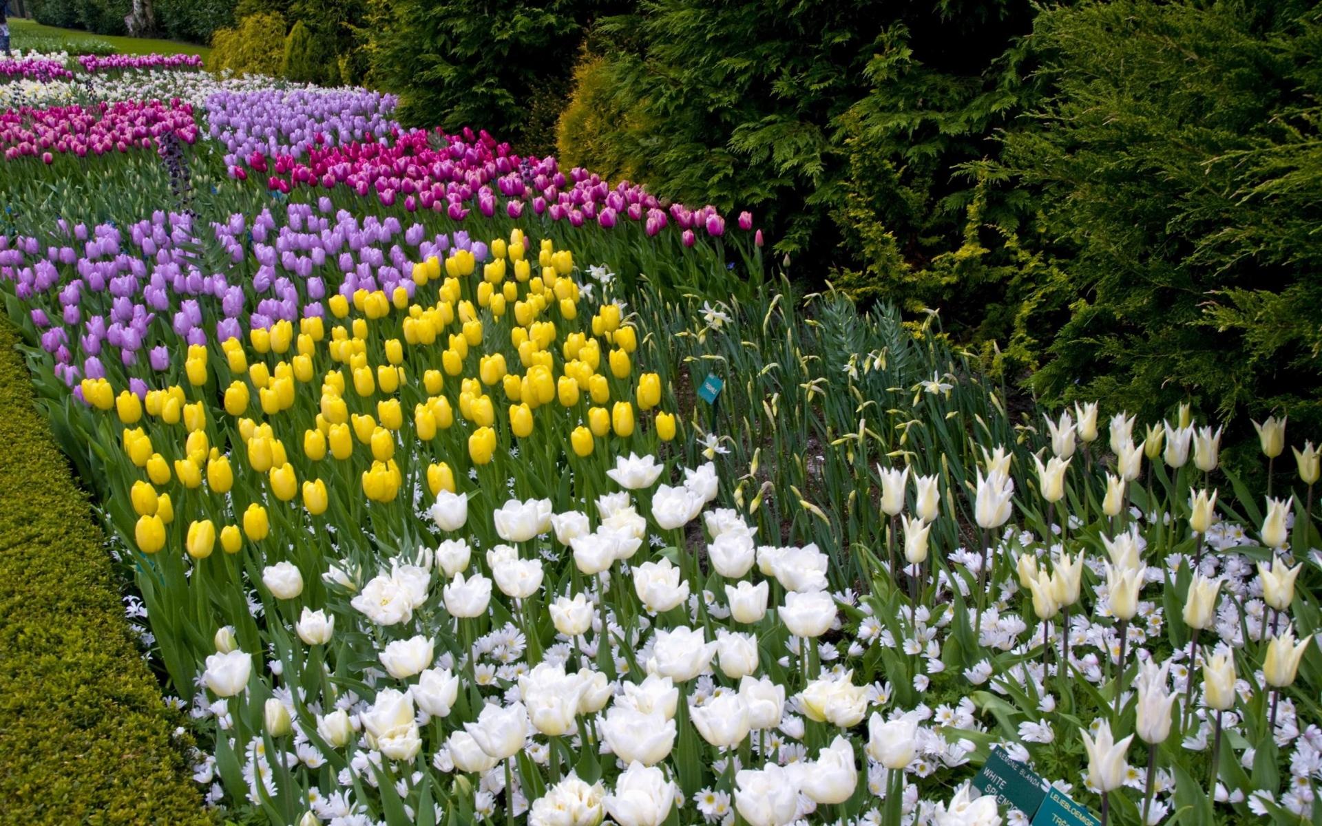 тюльпаны на клумбе с другими цветами фото сентябрь