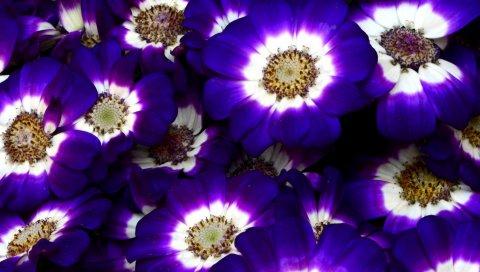 Цинерария, цветы, яркий, красочный, крупный план