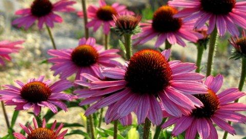 Эхинацея, цветы, лепестки, зелень, солнце
