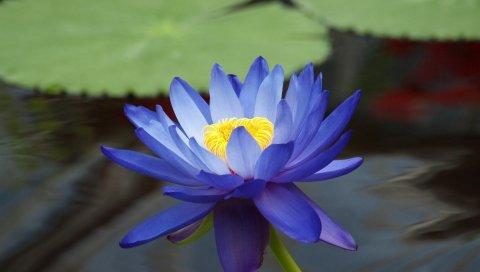 Лилия, синий, лепестки, вода, крупный план