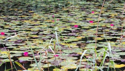 Водяные лилии, вода, болото, листья, трава