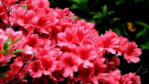 Азалия, цветение, ветки, крупный план, красивый