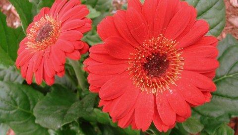 Гербера, цветы, красный, крупный план, зелень, клумба
