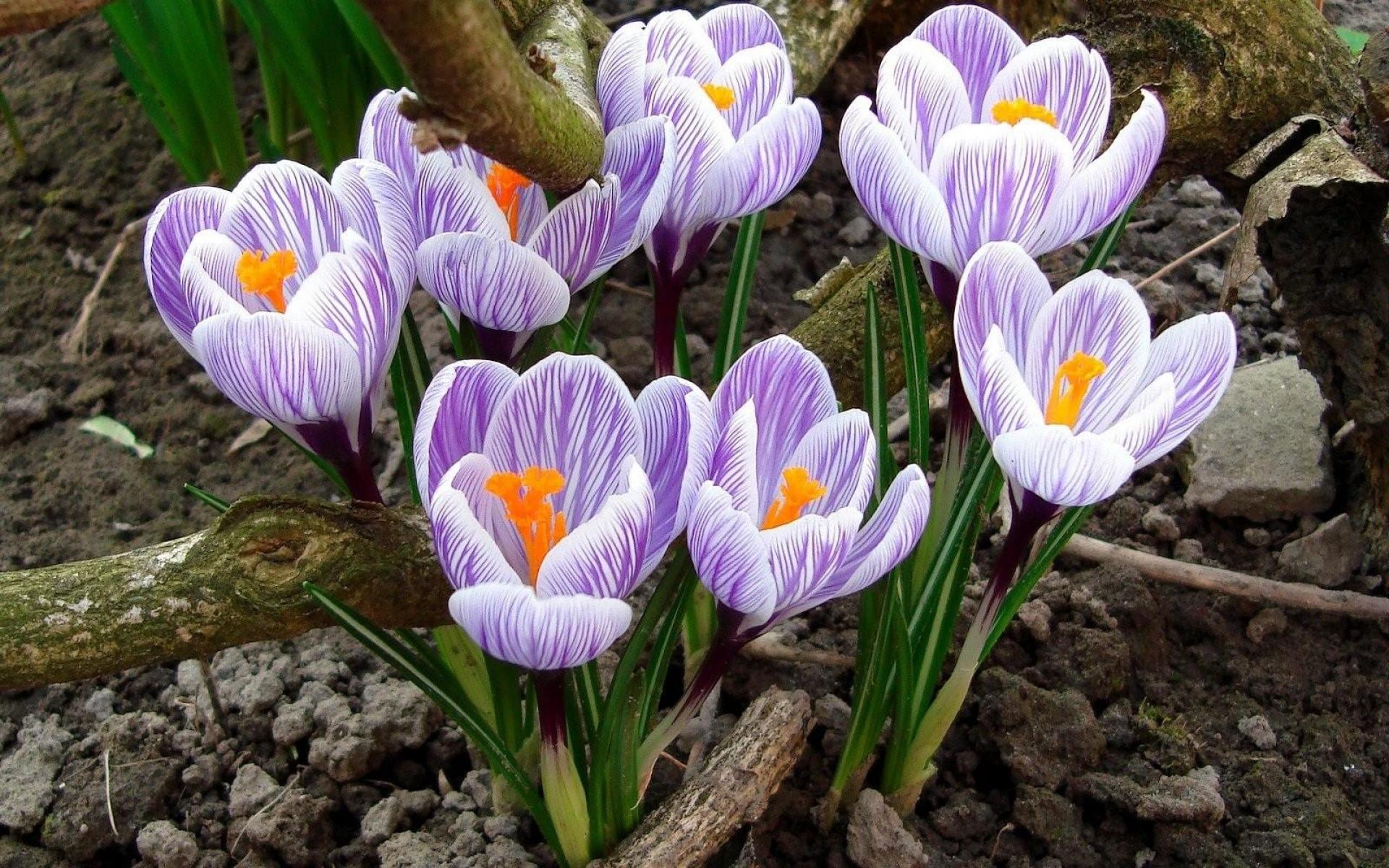 весенние садовые цветы фото и названия