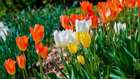 Тюльпаны, цветы, клумба, зеленый, солнечный, весна