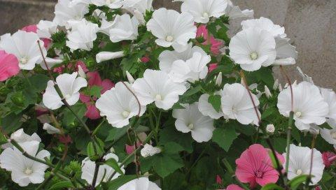 Lavatera, цветы, клумба, зеленый, красиво