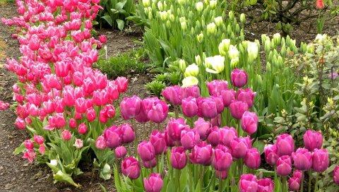 Тюльпаны, цветы, клумба, зеленый, грунтовка, весна