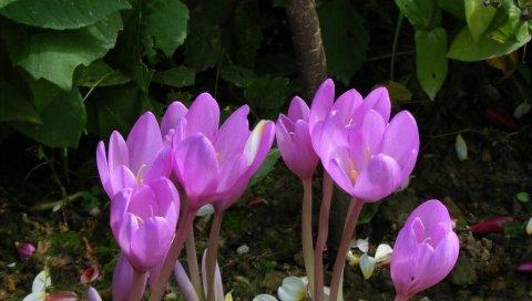 Крокусы, цветок, зелень, весна, лепестки