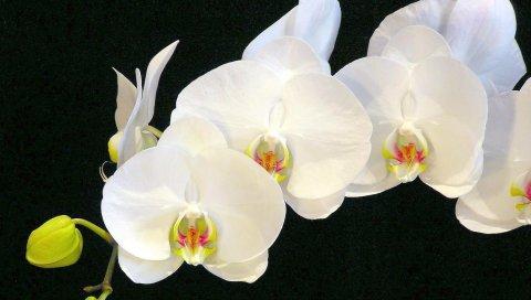 Орхидея, цветок, ветка, белоснежный, черный фон