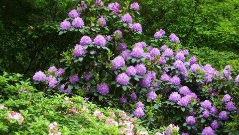 Азалия, кустарник, цветок, зеленый, парк