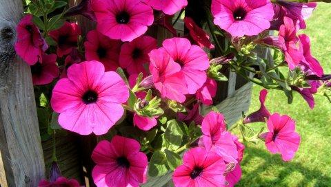 Петуния, цветы, яркие, красочные, солнечные
