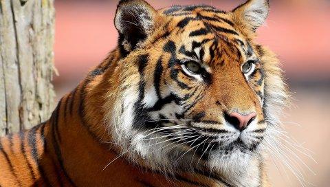 Тигр, лицо, глаза, большой кот