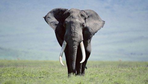 Слон, трава, прогулки,