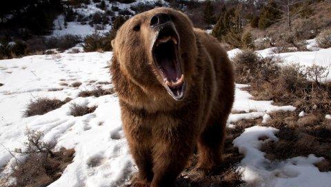 Медведь, зубы, сердитый, снег, коричневый, зима