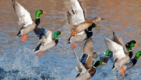 Утки, всплеск, полет, река, озеро